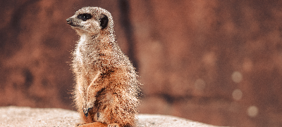 a-meerkat-suricata-suricatta-on-a-rock-while-looking-around.png